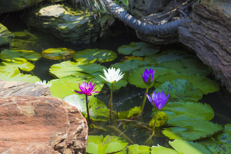 nymphaeaceae: Summer waterscape with colorful water lilies in bloom Stock Photo