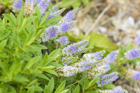 speedwell: Flowers of Veronica officinalis (heath speedwell) in bloom