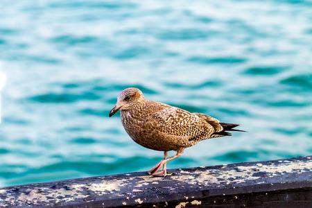 Brown seagull(Larus occidentalis)walking on a beam, close to lake Michigan