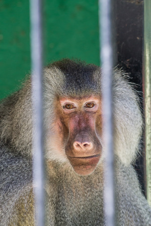 Baboon looking through the bars at the zoo Stock Photo