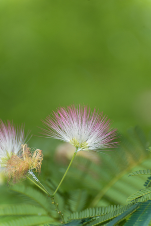 Close up of a silk tree flowers Stock Photo