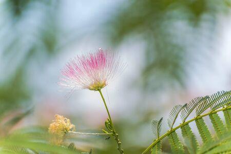 wispy: Close up of a silk tree flowers Stock Photo