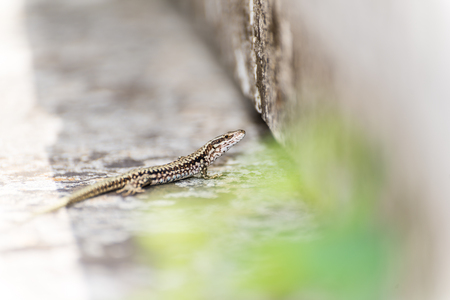 Small lizard with intentionally blurred foreground and background Stock Photo
