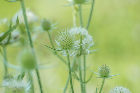 White Teasels with blurred background Stock Photo - 114755400