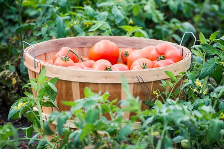 Organic homegrown red tomatoes in a bushel Banco de Imagens