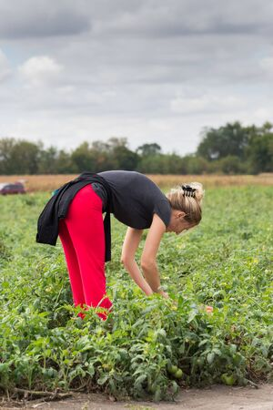 Woman picking a organic, red tomatoes on a farm