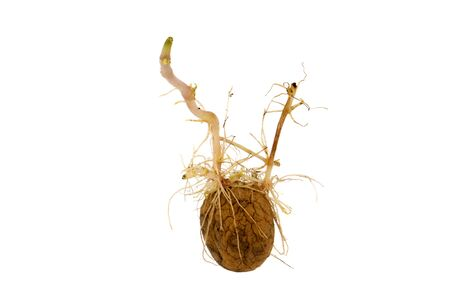 creasy: Germinating potato with big sprouts isolated on white background.