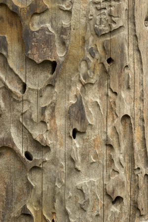 drywood: Texture of termite damaged wood.Close up.