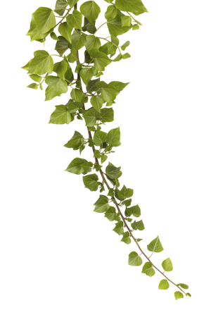 Branch of ivy isolated on white background.