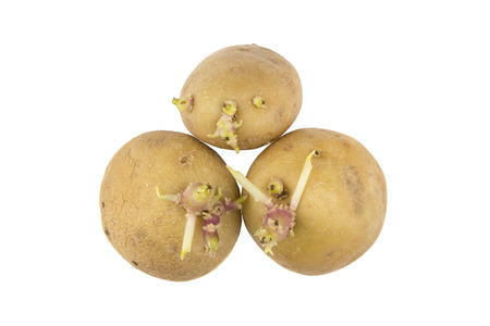 puckered: Germinating potatoes with big sprouts on white background.