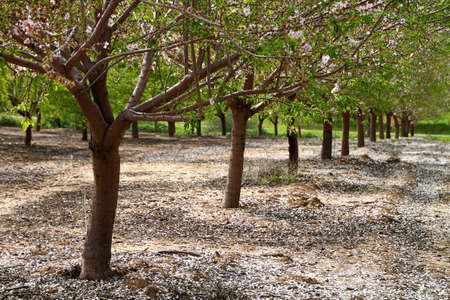 tree nuts: Almond trees rows background for different uses Stock Photo