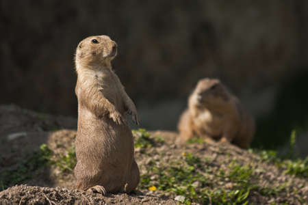 wilding: Two black-tailed prairie dogs in their home area.