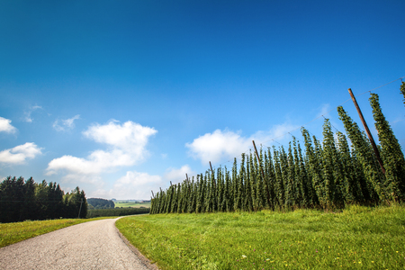 hopgarden: Landscape with a ripening hop plants in a sunny day. Stock Photo
