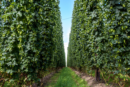 hopgarden: Agricultural field with a ripening hop plants.