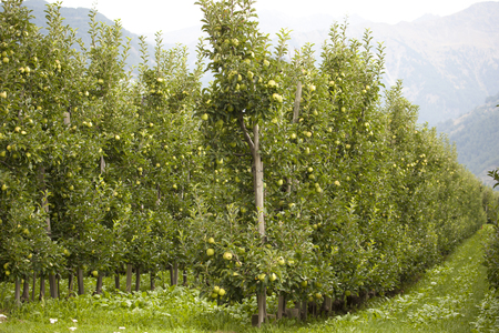 Many young trees in rows in an apple garden. They are with ripe and juicy apples and almost ready for picking.