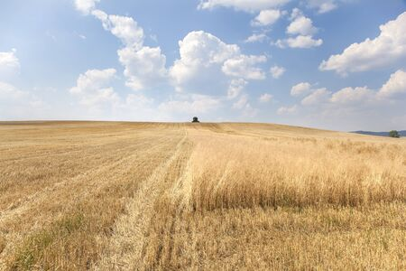 reaping: Rural landscape with a harvester reaping a wide wheat field in a hot summer day. The machine is moving directly to the camera. There are white downy clouds on the sky as background. Stock Photo