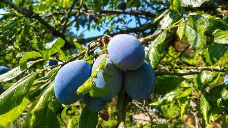 ciruela pasa: Varios ciruelos azules maduros y jugosos, podar en una rama de un árbol antes de recoger. Foto de archivo