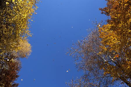 gust: Falling yellow and brown autumn leaves flying in the wind and on a blue sky background. Stock Photo