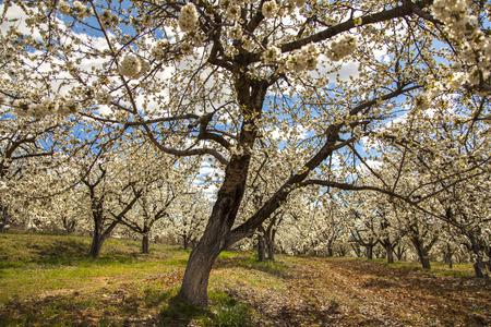 arboles frutales: Jardín con muchos árboles de cerezo jóvenes. El muelle se ha convertido y los árboles frutales están en flor en el huerto.