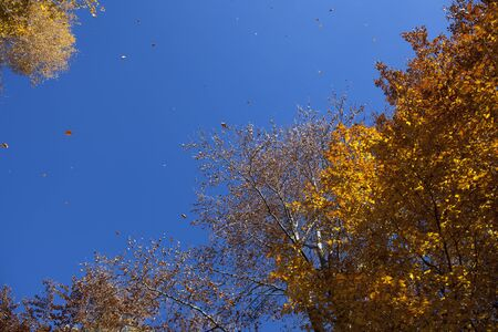 gust: Stock image of falling yellow and brown autumn leaves flying in the wind.
