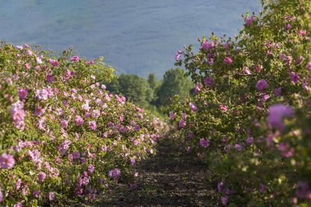 Vele rijen met bloeiende rozen in een landbouwveld voor het oogsten.