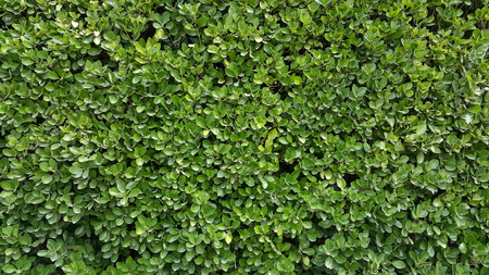 Green leaves wall hedge as background of fresh boxwood Buxus Sempervirens Rotundifolia Stock Photo