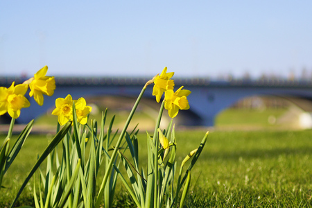 Daffodils against the background of the arch bridge. Latvia.
