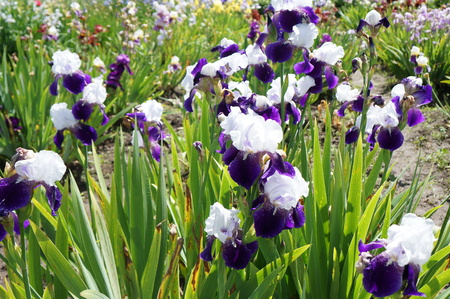 dreaminess: Lush bright iris with white and lilac petals in green grass Stock Photo