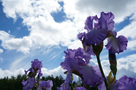 dreaminess: Delicate beautiful iris flower in bright green grass under a light blue sky