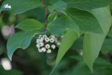 shrubbery: White svidina - poisonous white berries and green bush leaves