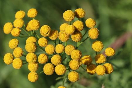 晴れた日にふわふわの黄色い丸い花タンジー 写真素材