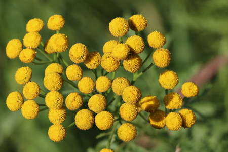 Fluffy yellow round flowers tansy on a sunny day 版權商用圖片 - 83672672