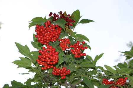 Beautiful clusters of red berries bush plants - rowan and viburnum - for background and design