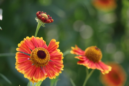 asteraceae: Bright orange flowers - helenium - summer or autumn background for wallpaper, design or advertising