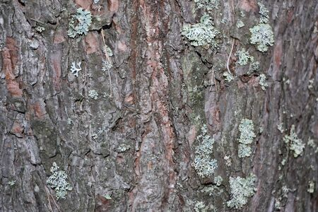 Pine bark - a natural texture for design, background and graphics for computer games
