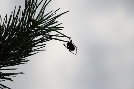 WEAVER: A forest spider weaves a web on a high pine branch