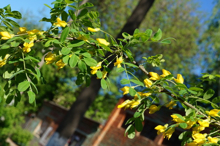 yellow acacia. Medical plant Caragana arborescens peashrub with beautiful yellow flowers in  spring.