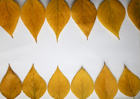 autumn background for text. yellow autumn birch leaves on  white background. Autumn composition of birch leaves for design, advertising, text.
