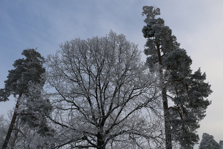 winter background: trees covered with white fluffy snow.