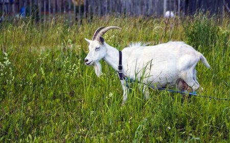 goat with white wool and beautiful horns grazes on a green lawn.