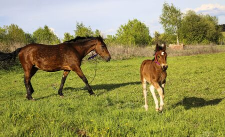 a beautiful slender brown mare walks on the green grass in the field, along with a small cheerful foal. Horses graze in a green meadow on a sunny day.