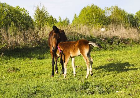A young thoroughbred brown foal walks and plays on a green pasture. Little stallion frolic and eat grass on a spring meadow, on a bright sunny day.