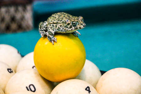 a spotted green frog on a pool table with old dirty billiard balls and shabby dusty green cloth. the concept of foul play, toad of greed and meanness in the game of billiards.