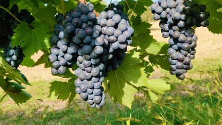 Bunch of black grapes, in a vine in the hills of Coriano, in small village in Romagna, Italy.