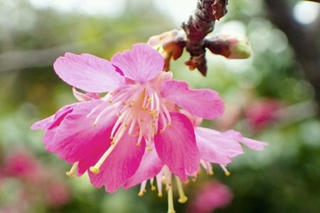 close: Cherry  blossom close up