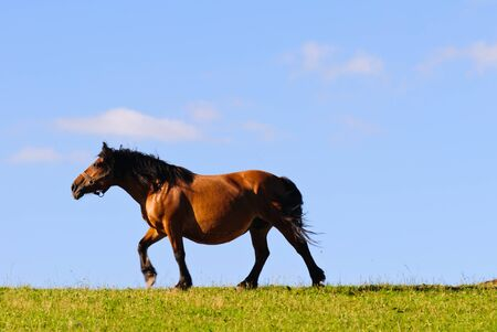 coupling: horse trotting across a meadow in the evening sun