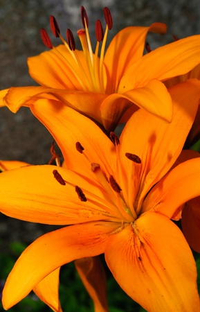 orange lilies Stock Photo - 10454720