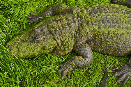 Alligator resting ashore near New Orleans photo