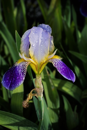 blte: The colorful Flower of an iris plant against green foliage,Die farbenfrohe Bl�te einer Irispflanze vor gr�nem Blattwerk