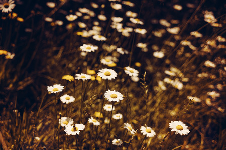 german chamomile: romantic wild field with chamomile flowers